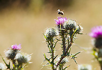 A bumble bee flying above a Canadian Thistle plant.  San Juan Island, Washington, USA.
