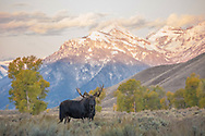 The Gros Ventre river drainage is a favorite haunt of bull moose during the autumn rut.  This bull was one of the largest in the area this fall and seemed to hold dominion over the smaller bulls he encountered.