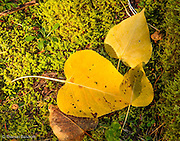 Yellow aspen leaves had drifted down to the moss covered rock, creating an interesting pattern.