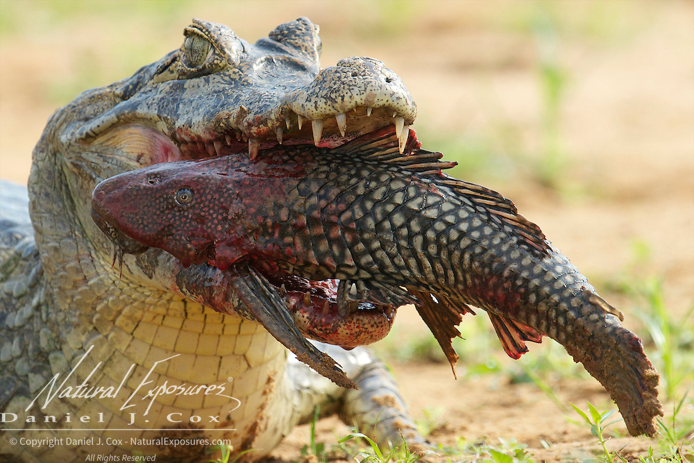Caiman feeding on large fish, Pantanal, Brazil.