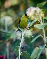 Goldfinch. Image taken with a Nikon D5 camera and 80-400 mm VRII lens (ISO 640, 400 mm, f/5.6, 1/800 sec).