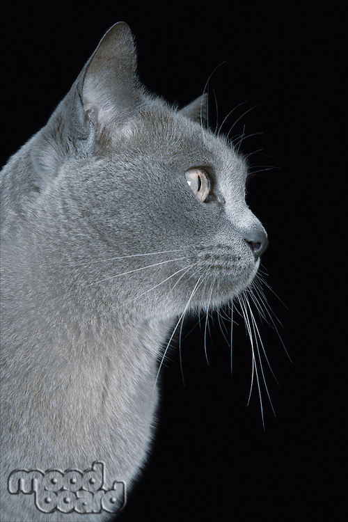 Blue Burmese cat, close-up