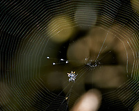 Crab Spideer and Web. Weedon Island Nature Preserve, Pinellas County, Florida. Image taken with a Nikon D300 camera and 80-400 mm VR lens (ISO 200, 210 mm, f/5.3, 1/250 sec)