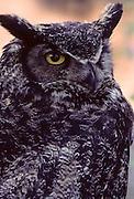 Great Horned Owl, Owl, Denali National Park, Alaska