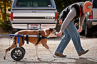 JEROME A. POLLOS/Press..Eric Hess, an animal behavior specialist at Kootenai Humane Society, gives Sugar Ray a treat Wednesday while exercising with the 7-year-old Boxer which was paralyzed from what the Humane Society believes to be a gunshot wound.