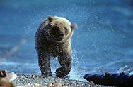 USA, Vereinigte Staaten Von Amerika: Grizzlybär (Ursus arctos horribilis) läuft am Strand vom Naknek See entlang, schüttelt Wasser aus seinem nassem Fell, Katmai Nationalpark, Alaska | USA, United States Of America: Brown bear (Ursus arctos horribilis), walking along the beach of Naknek Lake, shaking water out of it's wet fur, Katmai National Park, Alaska | ..