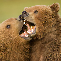 USA, Alaska, Katmai National Park, Brown Bears (Ursus arctos) sparring in meadow along Hallo Bay at sunset on summer evening
