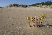 Monkey Flower growing in dry ephemeral pool<br /> Mimulus<br /> Oregon Dunes NRA