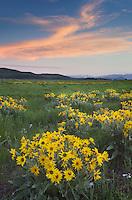 Sunset over meadows of Balsamroot (Balsamorhiza sagittata) at Antelope Flats, Grand Teton National Park Wyoming