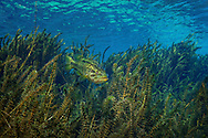 Hydrilla (with Largemouth Bass)<br />