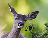 A whitetail deer busily eats the leaves from a bush