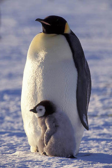 Emperor Penguin, (Aptenodytes forsteri) Adult and chick. Atka Bay Antarctica.
