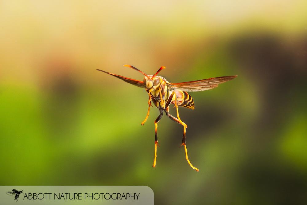 Polistes sp. (Paper Wasp) - in flight, captured using high speed flashes<br /> TEXAS: Travis Co.<br /> Brackenridge Field Laboratory; Austin<br /> 18.March.2009<br /> J.C. Abbott