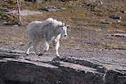 Mountain Goat - Oreamnos americanus - Northern Rockies