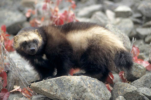 Wolverine, (Gulo gulo) Adult in Rocky mountains. Montana.Captive Animal.