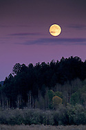 Harvest moon rises at sunset over Aspen and Pine trees, Grand Teton Nat'l. Pk., WYOMING