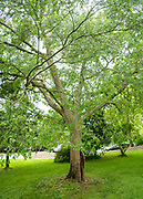 college green, Mapp Athens, Tree Tour, laceabark elm