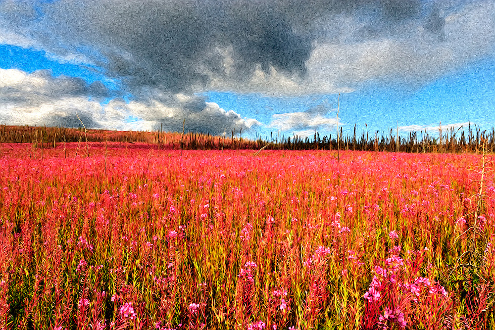 Oil Painting rendition of field of Fireweed wildflowers in burn area in interior Alaska. Evening. Summer.