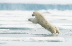 Jumping Polar bear (Ursus maritimus) in Svalbard