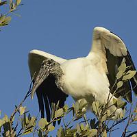 Wood Stork (Mycteria americana