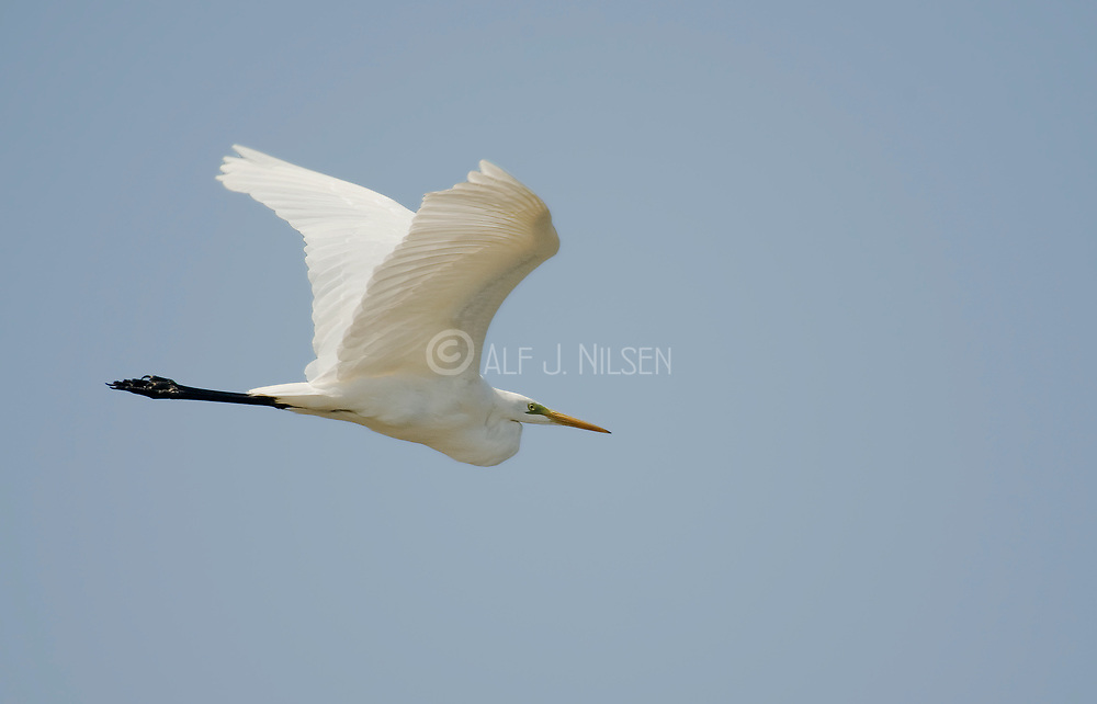 Great white Egret, Ardea alba, from Camargue, France.