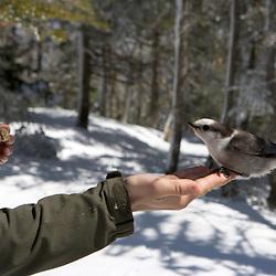 Feeding a gray jay on the Appalachian Trail near Zealand Mountain.
