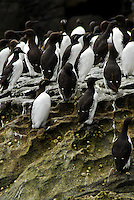 Guillemots gather on the Island of Noss located in the Shetland Islands of Scotland