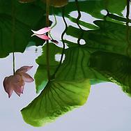 Vietnam images-Flower-Lotus-Reflection-Hoa sen -Hoàng thế Nhiệm