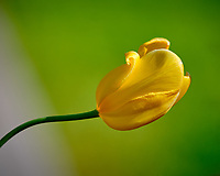 Yellow Tulip flower.  Image taken with a Fuji X-H1 camera and 200 mm f/2 lens + 1.4x teleconverter (ISO 200, 280 mm, f/4, 1/1250 sec)