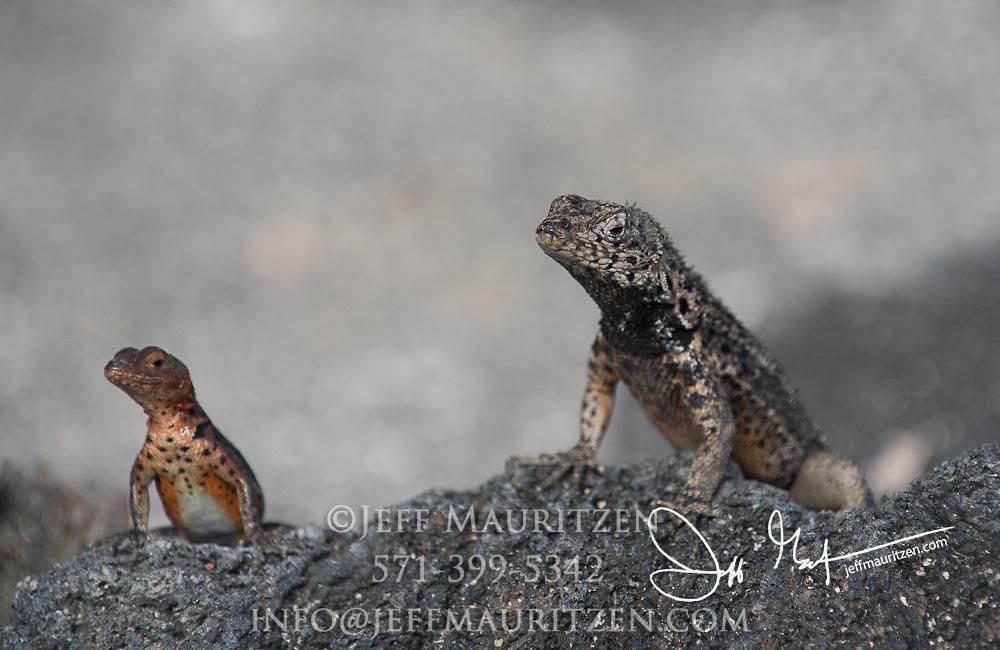 Lava lizards on a rock on Fernandina island, Galapagos islands, Ecuador.