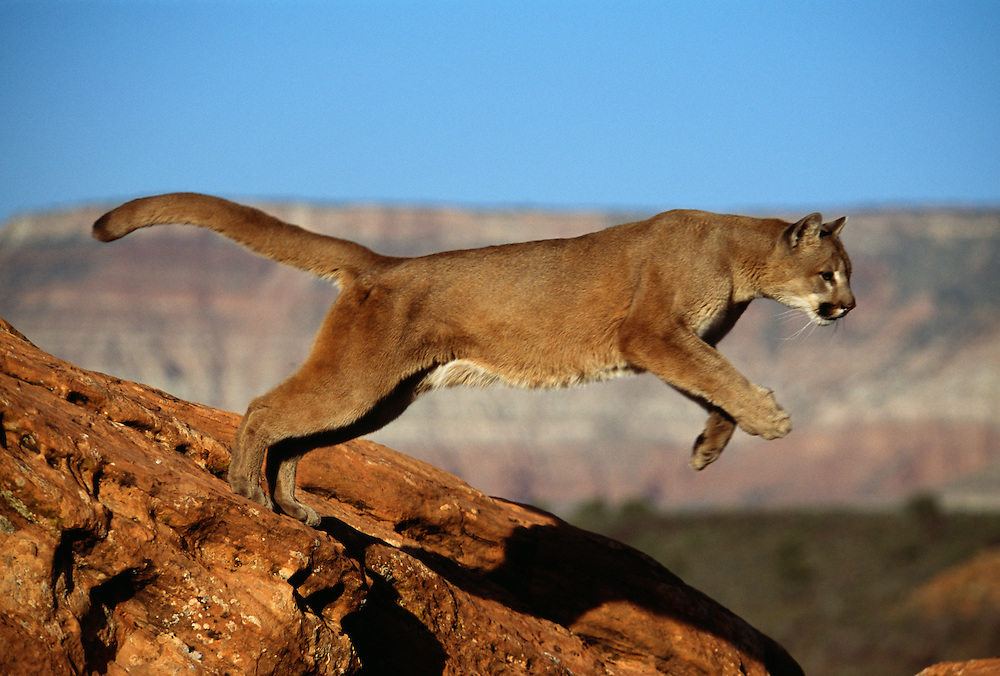 Mountain Lion leaping over rocks, side view