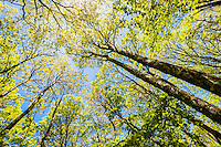 Trees in the Cohutta Wilderness, Chattahoochee National Forest