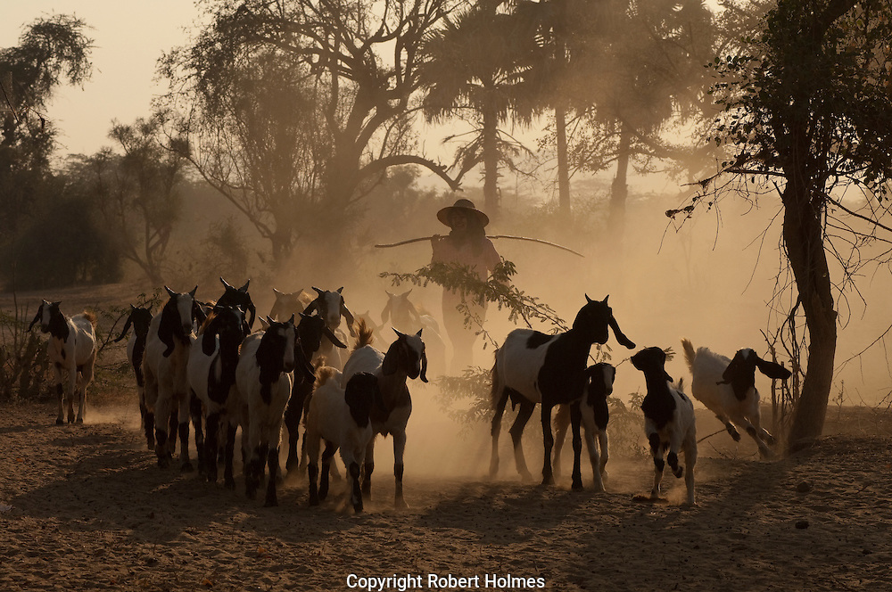 Goat herder near Mount Popa, Myanmar