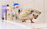 There's a hedgehog in my BATH! The animals are under threat - but not this pampered pet who loves nothing more than a swim <br /> <br /> After a week of prickly news for hedgehogs, at least this adorable little chap looks bristling with joy.<br /> But then Hokey is an African Pygmy hedgehog living the high life in an apartment rather than taking his chances in the wild like Britain's declining one million hedgehogs.<br /> Shockingly, earlier this week a hedgehog was found in student accommodation at Sheffield University, with his spikes cruelly cut off.<br /> <br /> Frankie, as he has been named, is being nursed back to health at an animal sanctuary.<br /> How different things are for Hokey. Col Skinner, 29, a digital marketing consultant, and partner Beki Smith, 24, a social media executive, bought him for £200 from a specialist breeder at eight weeks old.<br /> Now aged nine months, he has settled in to their second- storey flat in Manchester and enjoys the run of the place when the couple get home.<br /> Mr Skinner said: 'We chose him after finding out they make great pets. He loves swimming in the bath then getting wrapped in a flannel. They're natural swimmers.'<br /> <br /> However, an RSPCA spokesman sounded a note of caution: 'African Pygmy hedgehogs have more specialist requirements than more traditional domesticated pets, so it's difficult to meet their needs in a household environment.<br /> 'We would encourage people to consider adopting a more traditional animal (like a cat or dog) from a rehoming centre.'<br /> <br /> Photo shows: Hokey' the nine month old African Pygmy Hedgehog who lives an urban lifestyle in a flat in the centre of Manchester with owners Col Skinner, 28, and Beki Smith, 24. Hokey after his bath.<br /> ©Exclusivepix Media