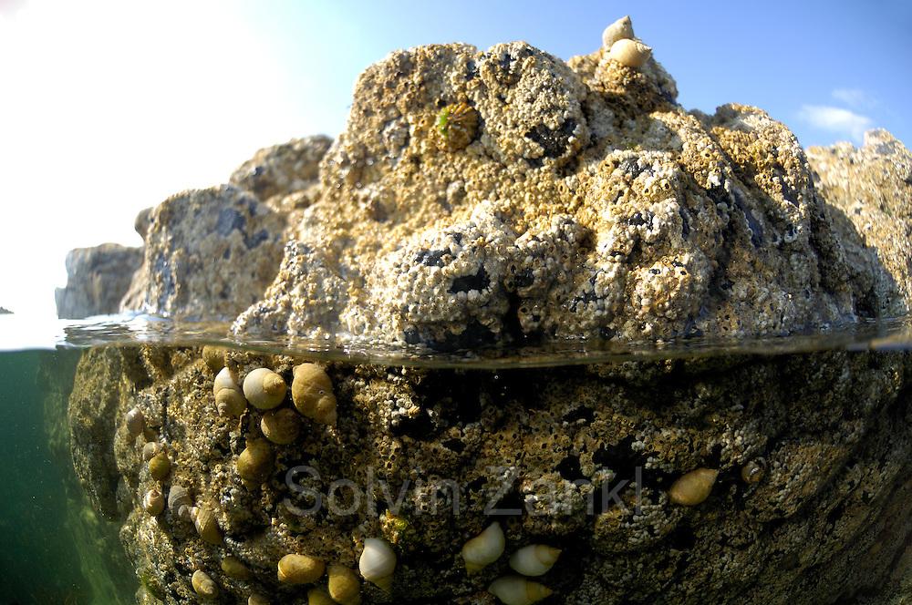Scottish coastline with Barnacle (Balanus balanoides) (dt. Seepocke)