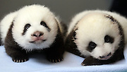 """Panda Bear cub """"B"""" (left) lays next to cub """"A"""" while waiting for a weigh in at Zoo Atlanta."""