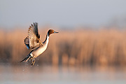 Northern Pintail, Anas acuta, male, Day County, South Dakota