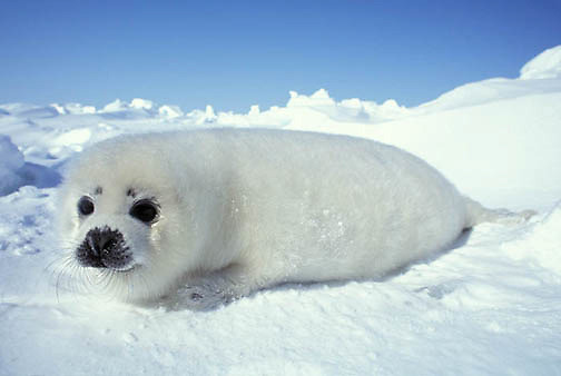 Harp Seal, (Pagophilus groenlandicus) Pup rests on ice pack. Nova Scotia. Canada. Spring.