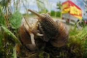 Autobahn A210 Anschlussstelle Melsdorf - Weinbergschnecke (Helix pomatia) bei der Paarung | Burgundy snail, Roman snail, edible snail or escargot (Helix pomatia)