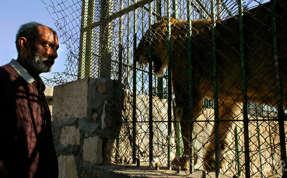Iraqi lion keeper Salmaan Dawood Abid watches as an agitated lion formerly owned by Uday Hussein snarls at him from behind a cage at the Baghdad Zoo November 15, 2003.  Two Iraqi businessmen, Thahe Mohammed Sabbar and Sherzad Kamal Khalid alleged yesterday that U.S. soldiers threw the pair into a cage of lions as part of a terrifying interrogation in a palace in baghdad in 2003.