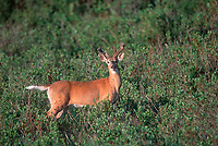 White-tailed Deer (Odocoileus virginianus), Kananaskis Country near Sibbald Creek, Alberta, Canada   Photo: Peter Llewellyn