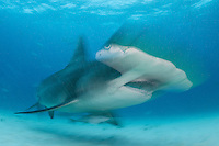 Great Hammerhead Shark, blurred<br /> <br /> Shot in Bimini, Bahamas