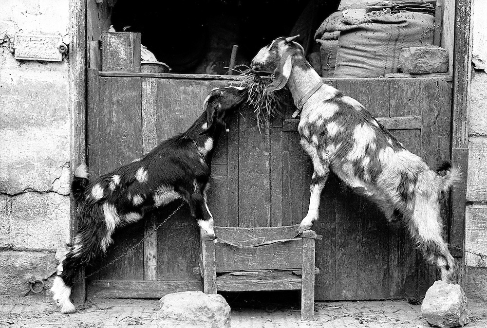 Two goats opposite each other lean on a wooden box as they reach up to share a nibble of hay.  One animal is black with white spots, the other white with dark spots.  Real life and real animals assume a heraldic appearance.