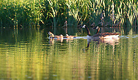 A family of Canada geese (Branta canadensis) in Iowa