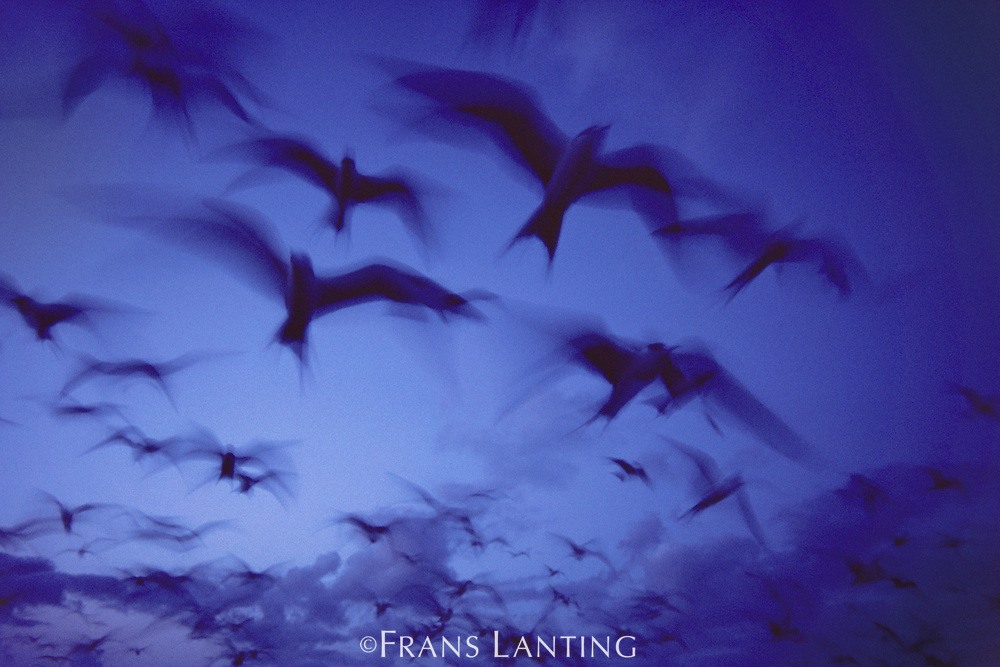 Sooty terns in flight at dusk, French Frigate Shoals, Hawaiian Leeward Islands, USA