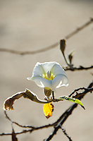 The white flower of the casahuate tree (Ipomoea pauciflora), Oaxaca, Mexico.
