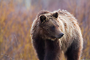 Grizzly Bear in Grand Teton National Park