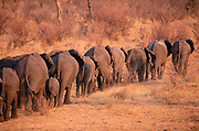 Elephant Herd<br />Loxodonta Africana<br />Chobe National Park, BOTSWANA Southern Africa<br />Breeding herd going to forest to feed