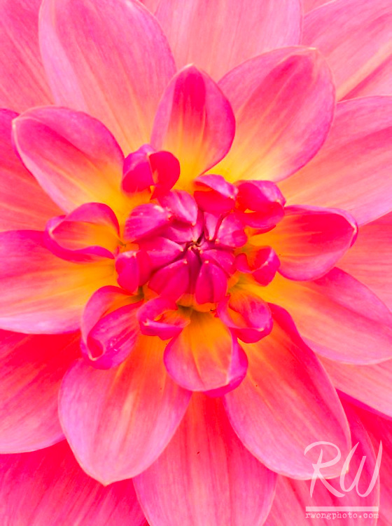 Pink Dahlia at Conservatory of Flowers, San Francisco, California