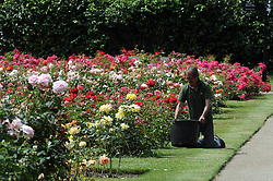© Licensed to London News Pictures. 24/06/2014. A gardener in Greenwich Park rose garden.Greenwich Park sunny weather, today 24th June 2014. Byline:Grant Falvey/LNP